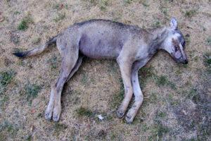 Canis_lupus_Alfaedo_20121