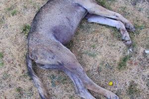 Canis_lupus_Alfaedo_20123
