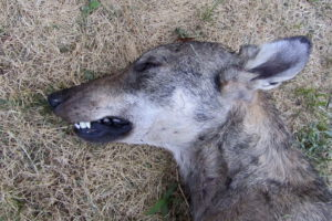 Canis_lupus_Alfaedo_20124