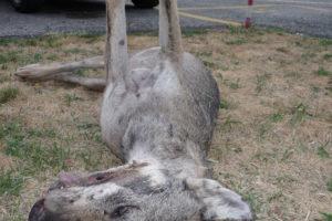 Canis_lupus_Alfaedo_20126