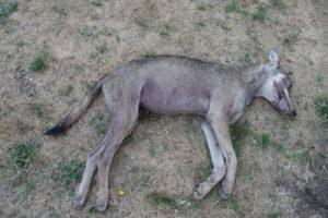Canis_lupus_Alfaedo_20127