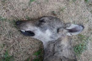 Canis_lupus_Alfaedo_20128