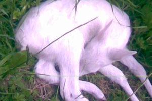 Meneghini M - Bischer G. - Capriolo Albino2