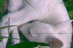 Meneghini M - Bischer G. - Capriolo Albino3