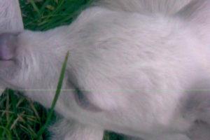 Meneghini M - Bischer G. - Capriolo Albino5