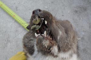 zanini-faina.dentatura